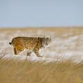 Bobcat In Sunlight  by Rikk Flohr