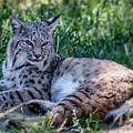 Bobcat In The Grass 2 by Teresa Wilson