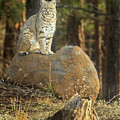 Bobcat In The Woods by James Eddy