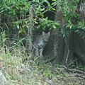 Bobcat In The Everglades by Lindsey Floyd