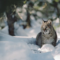 Bobcat Lynx Rufus Adult Resting In Snow by Michael Quinton