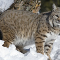 Bobcat Lynx Rufus In The Snow by Matthias Breiter