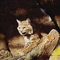 Bobcat Lynx Rufus Portrait On Rock by Gerry Ellis