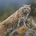 Bobcat Mother And Kittens North America by Tim Fitzharris