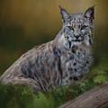Bobcat On Alert by Teresa Wilson