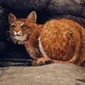 Bobcat On Ledge by Frank Wilson