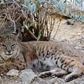 Bobcat Resting by Colleen Cornelius