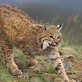 Bobcat Stalking North America by Tim Fitzharris