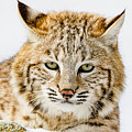 Bobcat Stare by Mike Centioli