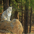 Bobcat Thoughts by James Eddy