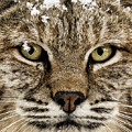 Bobcat Whiskers by Dawn Key