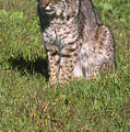 Bobcat - Wildcat Beach by Soli Deo Gloria Wilderness And Wildlife Photography