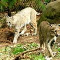 Bobcats Begin To Hunt by Larry Allan