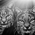Bobcats by Elaine Malott