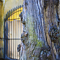 Boboli Garden Ancient Tree by Marilyn Hunt