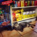 Bodega Cat - At Home In New York by Miriam Danar