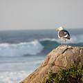 California Gull 2 - Bodega Head Sentinel  by Marta Robin Gaughen
