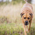 Boerboel Dog by Tim Hester
