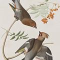 Bohemian Chatterer by John James Audubon
