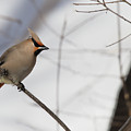 Bohemian Waxwing 2 by Sandy Thompson