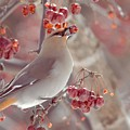 Bohemian Waxwing 3 by Victoria  Dauphinee