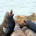 Boisterous Pinnipeds by Sheila Fitzgerald