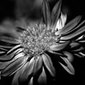 Bold Black And White Flower by GK Hebert Photography