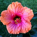 Bold Hibiscus by Brian Eberly