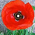Bold Poppy by Caroline  Urbania Naeem