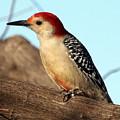 Bold Woodpecker by Kala King