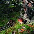 Boletus Mushroom by George St