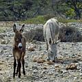 Bonaire Wild Donkeys 2 by June Goggins