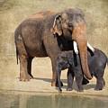 Bonding - Asian Elephants Houston Zoo by TN Fairey