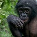 Bonobo Pan Paniscus Juvenile Orphan by Cyril Ruoso