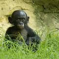 Bonobo Tyke by D'Arcy Evans