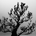 Bonsai Black And White by Tim G Ross