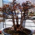 Bonsia Tree Garden by Lord Frederick Lyle Morris