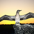Booby At Sunset by Dave Fleetham - Printscapes