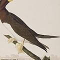 Booby Gannet   by John James Audubon