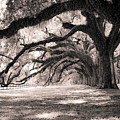 Boone Hall Plantation Live Oaks by Dustin K Ryan