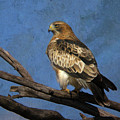 Booted Eagle by Perry Van Munster