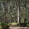 Boranup Forest, Margaret  River, Western Australia by Elaine Teague