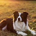 Border Collie At Sunset With Warm Colors by Marco Siori