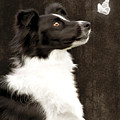 Border Collie Dog Watching Butterfly by Ethiriel  Photography