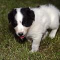 Border Collie Puppy by Sally Weigand