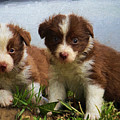 Border Collies  by Garland Johnson