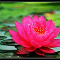 Bordered Water Lily by Jim  Darnall