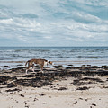 Borzoi Dog Stalking Alnmouth Beach by Jean Gill