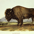 Bos Americanus, American Bison by John James Audubon