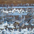 Bosque Cranes And Geese by Randy Jackson